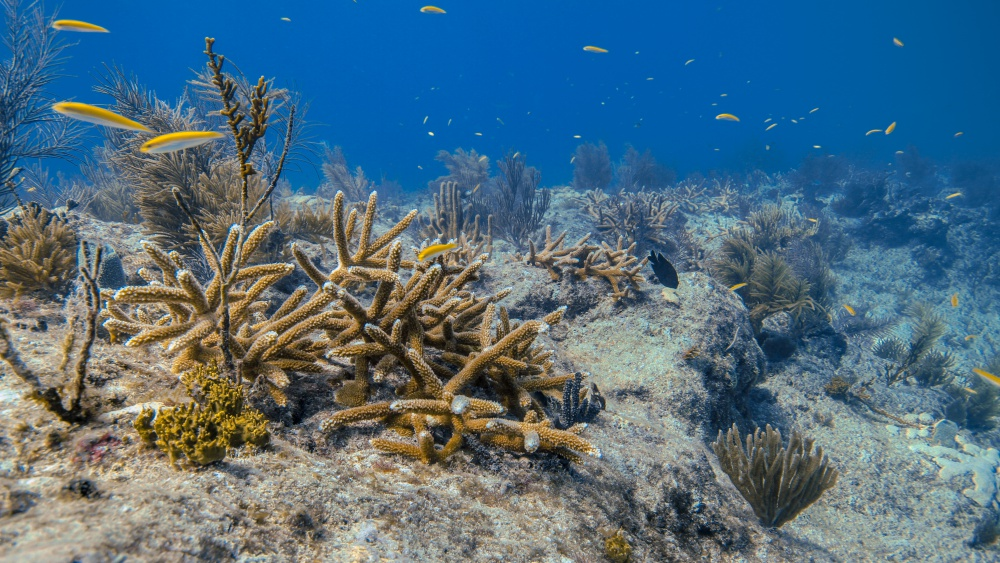 An outplanted staghorn thicket is now part of a recovering reef system