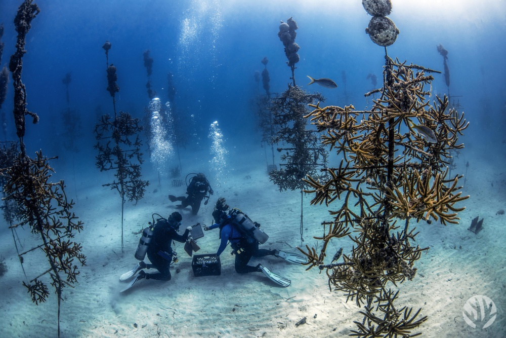 Divers at work in the CRF Coral Tree Nursery smaller file copy